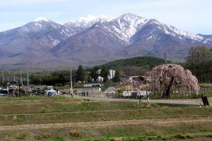 大糸桜と八ケ岳