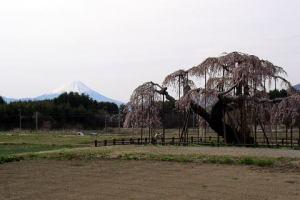 大糸桜と富士山