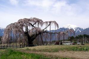 大糸桜と甲斐駒を並べて眺める