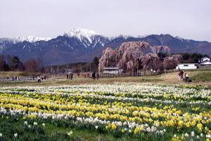 大糸桜と甲斐駒と水仙
