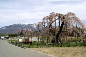大糸桜と八ケ岳を振り返り見る