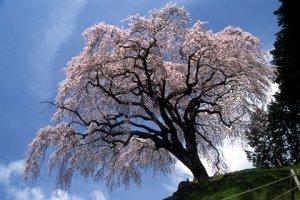 乙ヶ妻のしだれ桜