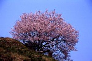 芹ヶ沢近くの桜