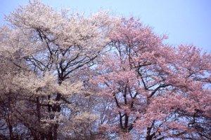 国道沿いの紅白の桜