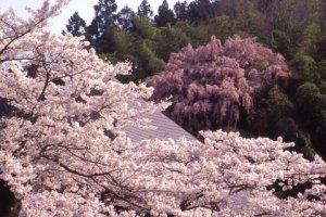 福聚寺のしだれ桜